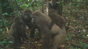 Extremely Rare Cross River Gorillas Caught on Camera in Nigeria | Biology