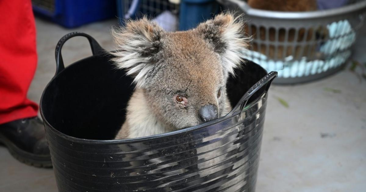 Koala row threatens leader of Australia's biggest state [ARTICLE]
